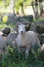 Premiär för Svenskt Sigill- märkt lammkött