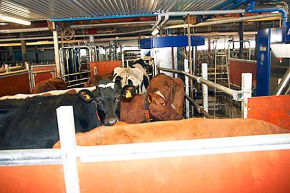 Korna köar till mjölkrobotarna och de verkar ta nymodigheterna med ro.