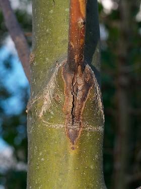 Sjukdomen drabbar både unga plantor och stora träd och än så länge finns inga resistenta arter eller kloner. Foto: Magnus Gammelgaard Nielsen.