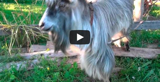 goat-beatbox