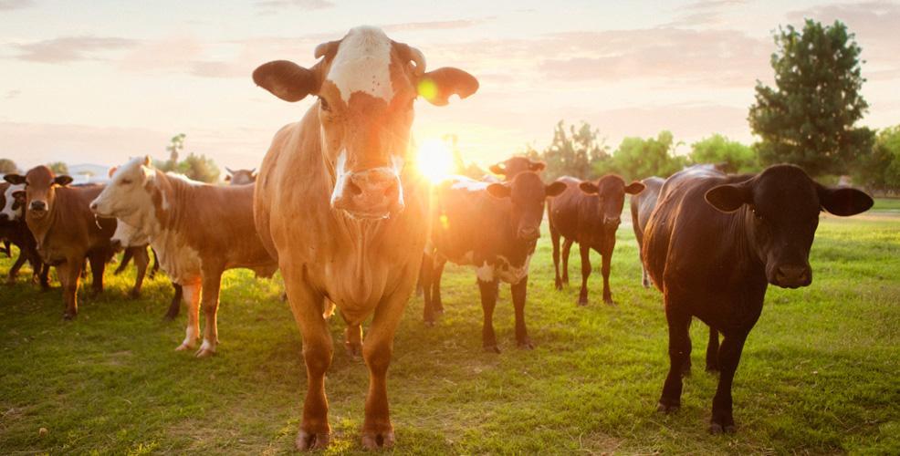 Välj ekologiskt kött från svenska djur som betat utomhus. Foto: Naturskyddsforeningen.