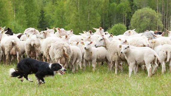 Samspelet mellan vallhund och får bottnar i trygg respekt, inte tvång.