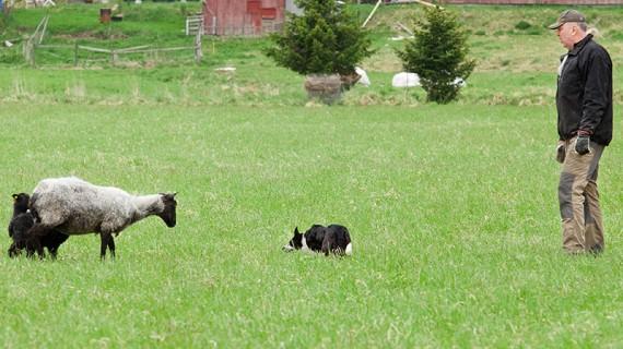Hunden spänner blicken i tackan och får henne att ansluta sig till de andra.