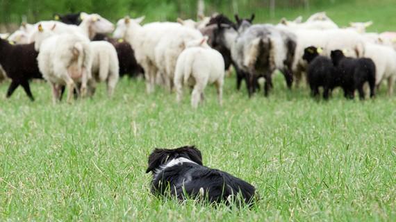 Border collie är den vanligaste vallhunden.
