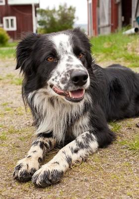 Att använda sig av vallhundar inom lantbruket gör att djurhanteringen går som en dans.