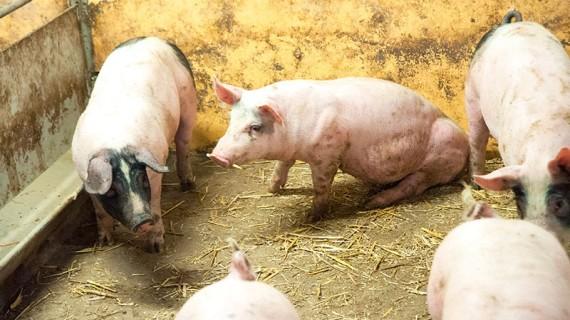 Gott om plats, uppvärmd betongplatta, stimulans från halm och en bra toalett är viktiga delar för att grisar ska må bra.