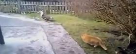 Katten ska fånga ankan