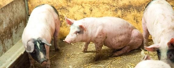 Oljan blev knorren på grisuppfödningen