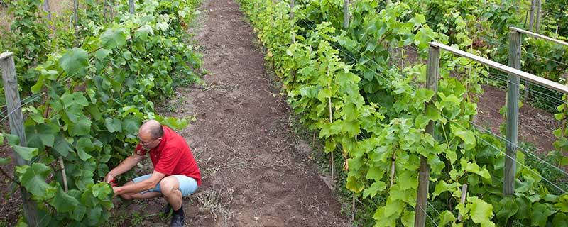 Odling av druvor är arbetsintensivt.