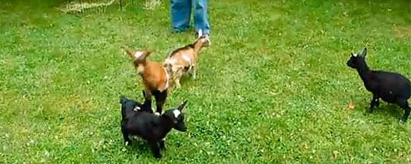 goat_parkour