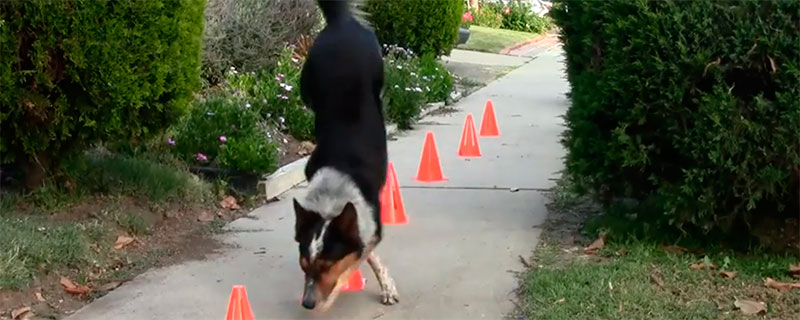 Stabil hund