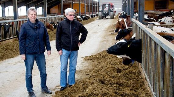 Lisbeth Riberth och Hans Stålhammar inspekterar den ena gruppen kvigor som ingår i korsningsprojektet.