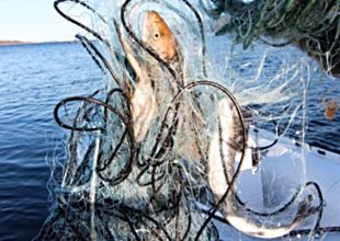 Olagligt nätfiske avslöjat i Kalix