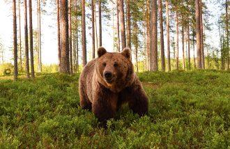 Så många björnar får skjutas i Västernorrland