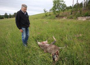 Reportage från byarna där vargar jagar tamdjur