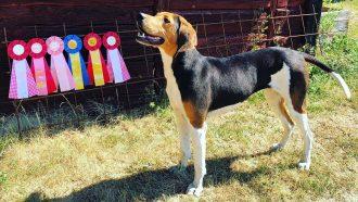 Stövarklubben lyfter in treeing walker coonhound i gemenskapen