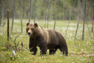 Björnjakten över i Jämtland