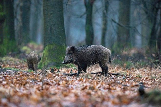 63 000 hektar spärras av för att stoppa svinpest