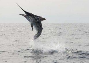 Fiskare räddade efter dramatisk kamp med marlin