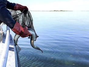 Omfattande tjuvfiske efter ål – ännu flera beslag gjorda