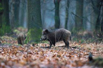 150 jägare sköt 30 vildsvin