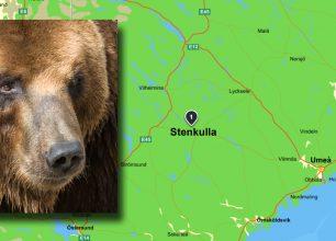 Jägare i Västerbotten sköt attackerande björn