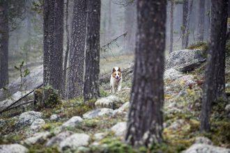Rapp – snabb och effektiv i tjäderskogen