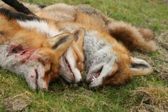 Debatt: Ska predatorer räknas in i den biologiska mångfalden?