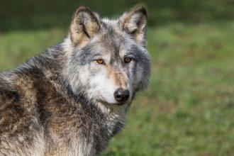 """Åklagaren om död varg: """"Har inte hittat den ännu"""""""