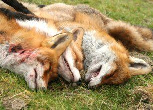 Debatt: Ska predatorer räknas i den biologiska mångfalden?