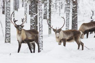 Skyddsjakt på varg har sinkats av snöbrist