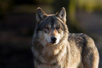 Älghund angreps av varg i Bohuslän-Dal