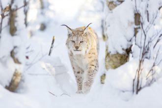 Fortsatt rättslig tvist om jakten på lodjur i Örebro