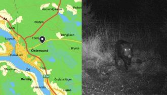 Nya vildsvinsobservationer utanför Östersund