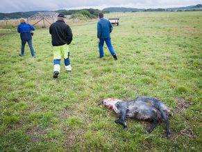 Över 100 får attackerade av lodjur och varg