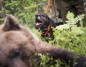 100 björnar får fällas i Jämtland