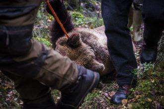 Två premiärdatum blir verklighet för björnjägarna i Västerbotten
