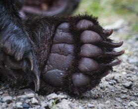 Så blir Västernorrlands björntilldelning