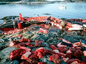 Besked från Japan: Återupptar jakten på valar i sommar