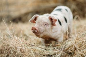 Svenska grisar klimatsmartare